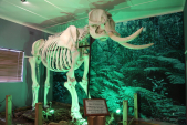 Elephant Skeleton in Diepwalle Knysna Forest Legends Museum